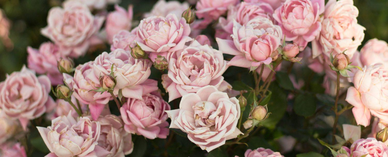 Rose bush at Lyndhurst in Tarrytown