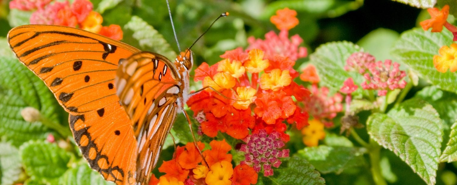 Monarch butterfly on a flower at the Bartlett Arboretum and Gardens