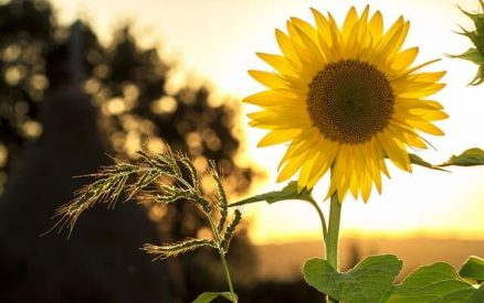 sunflower in front of a sunset during labor day weekend in greenwich ct