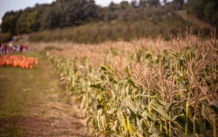 corn maze and pumpkins at a Connecticut farm with apple orchards