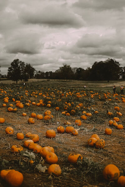 pumpkins in the field of a Connecticut farm
