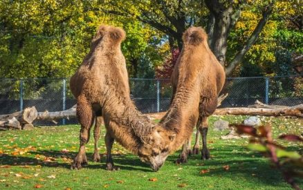 camels at the zoo
