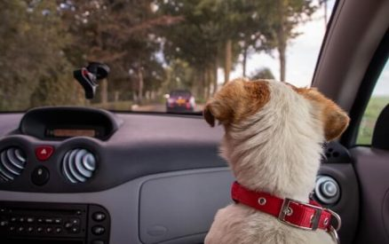 dog looking out the car window on a road trip
