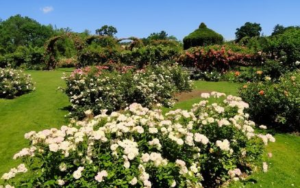 Roses in the Elizabeth Park Rose Garden