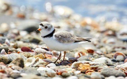 seabird on a stony beach in Connecticut